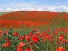Poppies, in a field